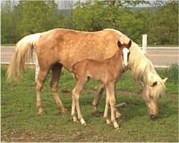palomino fox trotter mare for sale