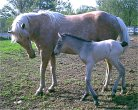 palomino mare, is an easy keeper, has never had a problem foaling, has big foals, milks like a cow, and is an excellent mother