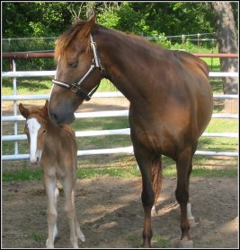 chestnut foxtrotter filly