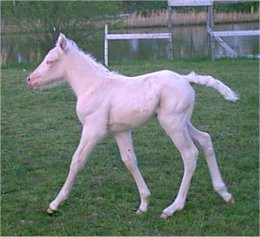 foxtrotter palomino mare for sale