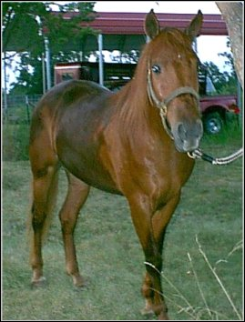 sorrel 2 year old mare
